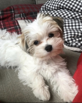 Mix Irk Morkie Mini Boy Yavrular